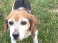 Beagle - Barney - Small - Adult - Male - Dog Barney is