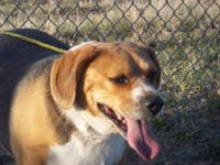 Beagle - Buddy - Medium - Adult - Male - Dog Buddy is a