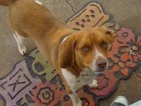 Beagle - Kate - Small - Adult - Female - Dog Kate came