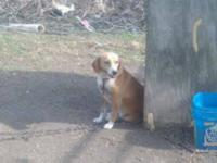 Beagle - Lil Red - Medium - Young - Female - Dog Lil