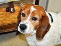 Beagle - Musket - Medium - Adult - Male - Dog Musket is