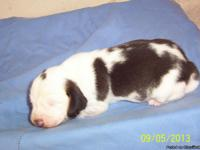 Beagle puppies for sale, ready to go Oct 19, Oct 22,