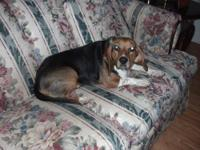 Beagle - Rachel - Small - Adult - Female - Dog Posted