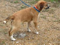 Beagle - Topper - Small - Young - Male - Dog All HSWA