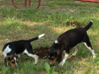 I have two man beagles I wish to find a brand-new