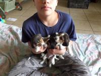 i am selling 7 beagles they are tri color they have