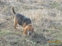 I HAVE 3 FEMALES AND 1 MALE ADULT BEAGLES FOR