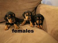 we have some AKC Beagles for sale. we have 3 litters