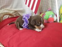 "2 adorable baby pocket size beagles mom is 11"" gorgeous"
