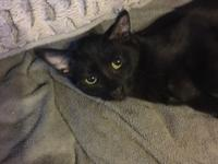 Bean is a petite female black kitten.  She was found in