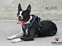 Beans's story Beans, the 15 month old Boston Terrier is