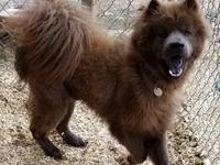 Bear is a Chow Mix  Sex: Male Spayed/Neutered: