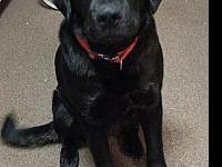 Bear (COURTESY 12/13/18)'s story LARGE BLACK LAB/BORDER