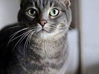 BEAR's story I am a handsome blue tabby still looking