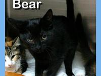 BEAR's story BEAR - M, DSH, Black, approximately 11