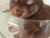 Raisin is a chocolate Pomeranian with a bear face. He