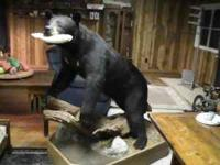 Beautiful Black Bear Full Body Mount 320lbs from Maine.