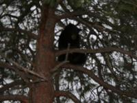 Im offering Bear hunts in Az. I have a place in