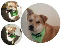 Bear is a three year male Korean Jindo dogBear! I am a