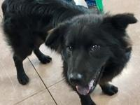 Bear is a young, friendly Labrador Retriever/Chow mix.