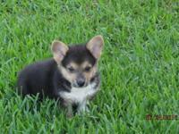 Bear is a loving 8 week old male Corgi puppy, he is