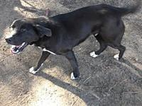 My story BEAR is a 1-year-old neutered male black lab.