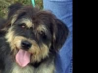 Bearded Collie - Carlos - 50 Lbs - Large - Adult - Male