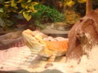 24 mo. old Orange Bearded Dragon in need of a good and