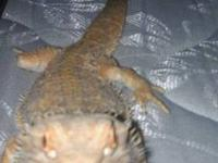 I have a Bearded dragon he is about a foot mabe... He