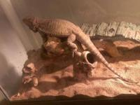 Bearded dragon. Female. Adult (approximately 4 years