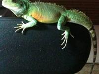 I have a 1 year old grey bearded dragon free to a