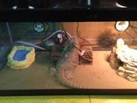 Nearly 2 year old Bearded Dragon. Was used as a