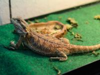 Bearded Dragon - Charmer - Medium - Young - Scales,