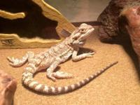 Nice size male bearded dragon lizard, with awesome tank