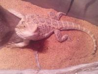 We have a Bearded Dragon Lizard we looking to find a