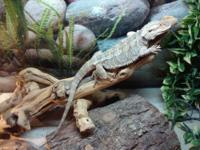 1 1/2 year old MALE bearded dragon. Rex is friendly and