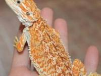 """I have a full """"Bearded Dragon Package Deal"""" for sale."""