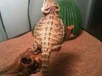 I am selling my 7 month old female bearded dragon and