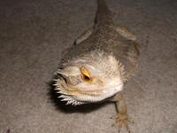 I have a 1 and  year old male Bearded Dragon that needs