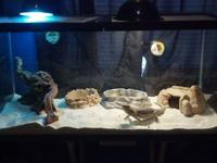 I am rehoming my 2 year old male Bearded Dragon with