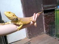 I have two male bearded dragons I am selling. They have