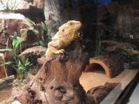 BEARDED DRAGONS: I have some odds and ends left. First