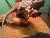 I have two bearded dragons for sale. One is male and