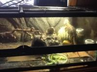 2 bearded dragons and glass habitat This ad was posted