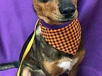 Beast's story Belle is a cute young female Terrier mix