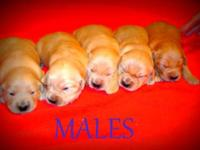 9 AKC Golden Retriever puppies for sale. There are 4