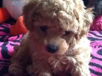 Hi I have a beautiful akc toy poodle for sale, this boy