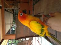 I have a amazing pretty sun conure for sale! He is very