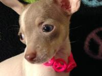1 lovely APRI signed up Chihuahua young puppy. UTD on