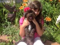 Stunning CKC signed up female shih-poo, LiLy. She is